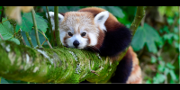 The endangered Red Panda has a wild population of less than 10,000 mature individuals-Image: REUTERS/Rebecca Naden